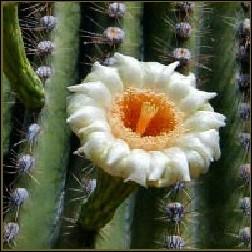 Saguaro Blütenessenz 10ml