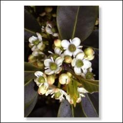 Holly Bachblüten Bild 50x75cm