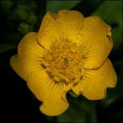 Buttercup Blütenessenz 10ml