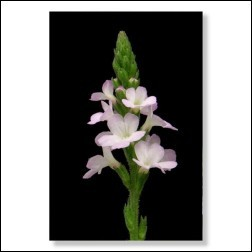 31 Vervain Bachblüten Foto 10x15cm